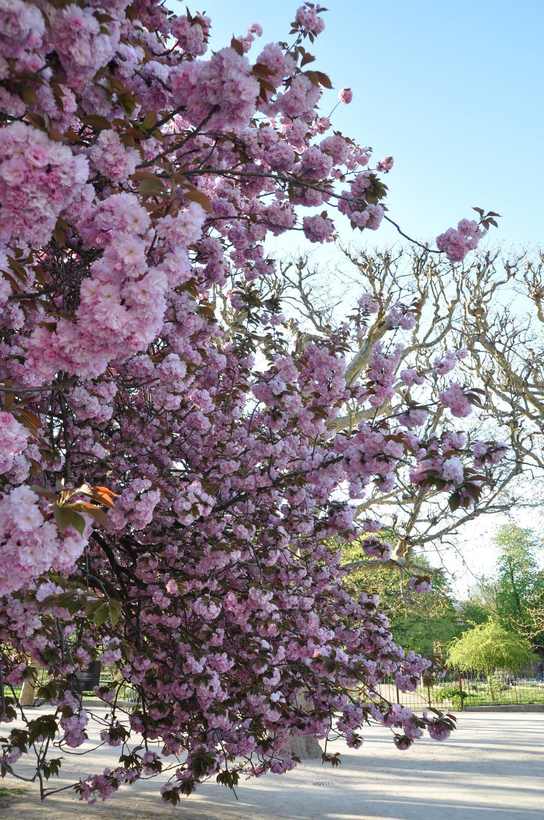 Cherry blossoms at the Jardin des Plantes, Paris - Kinto